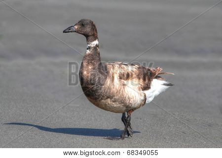 Black Brant (branta Bernicla) On A Beach