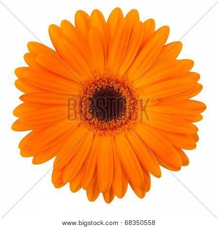 Orange Daisy Flower Isolated On White