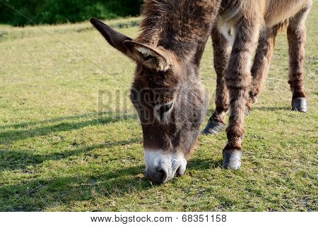 Friendly Donkey Grazing In The New Forest