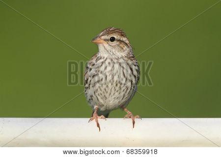 Juvenile Chipping Sparrow (spizella Passerina)