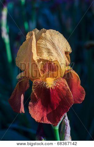 Orange red iris petals