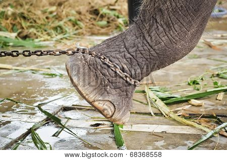 Elephant's Foot Tied To A Chain