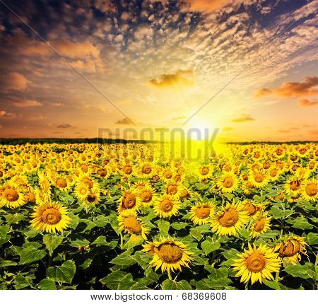 Idyllic scenic landscape - sunflower field on sunset with dramatic cloudscape