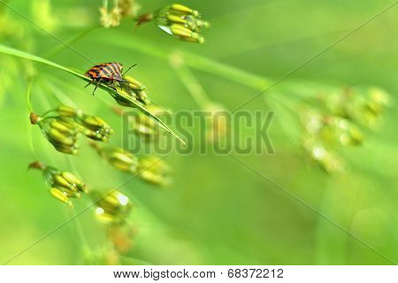 Graphosoma lineatum in a spring morning light