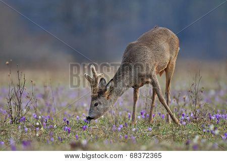 Grazing roe deer