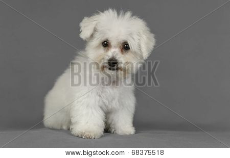 Cute Pure Breed Bichon Frise Puppy