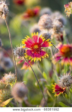 Texas Summer Wildflowers At Sunrise