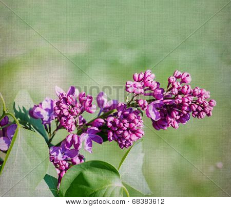 Purple Lilac Flower Close-up Over Canvas Background