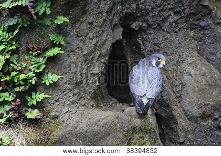 Peregrine Falcon at a Nest Site