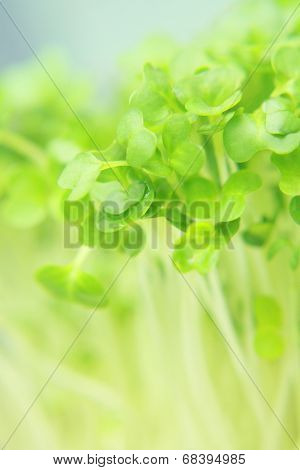 Close Up Of Fresh Garden Cress Leaves