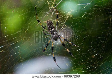 Golden Silk Spider And Web