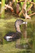 stock photo of grebe  - Pied - JPG