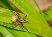 image of creepy crawlies  - Wolf Spider with egg sack perched on a green leaf - JPG