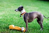 stock photo of greyhounds  - Italian Greyhound playing in countryside park Poland - JPG