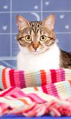 foto of blue tabby  - Cute adult tabby with warm knitted scarf over blue background - JPG