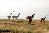 foto of alpaca  - Young alpacas in the Italian alps in summer - JPG