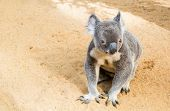 picture of koalas  - Photo of curious koala on the  yellow sand - JPG