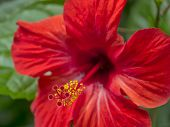 picture of rose sharon  - Closeup of a red hibiscus blossom in full bloom - JPG