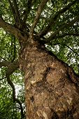 stock photo of ash-tree  - European ash  - JPG