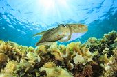 picture of cuttlefish  - Cuttlefish underwater - JPG