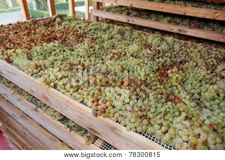 Drying Nosiola grapes for making Vino Santo, Italian dessert wine