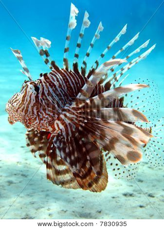 Common Lionfish.
