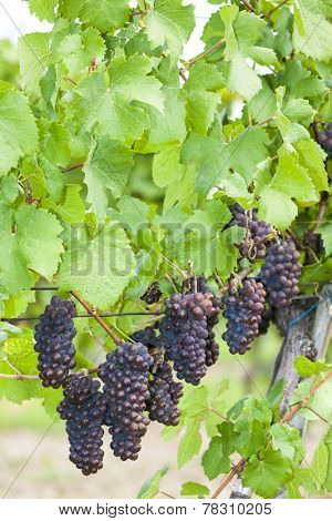 grapes in vineyard (pinot gris), Southern Moravia, Czech Republic