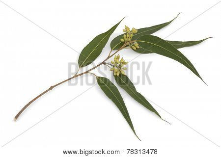 Eucalyptus branch and leaves on white background