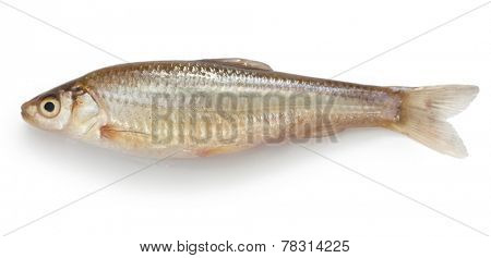 honmoroko, japanese willow shiner(female), luxury freshwater fish