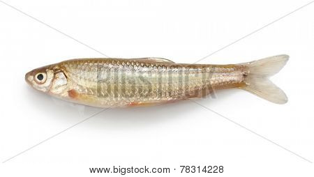 honmoroko, japanese willow shiner(male), luxury freshwater fish
