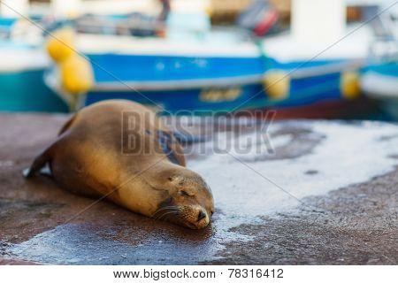 Sea lion sleeping in town near port at Galapagos Santa Cruz island