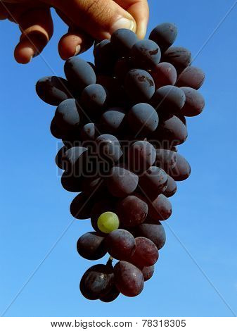 hand holding grape cluster