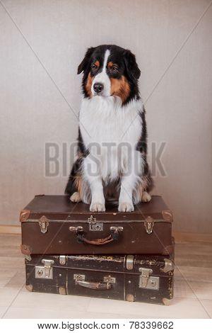 Dog Breed Australian Shepherd, Aussie