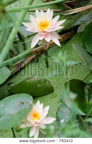 Flourishing water lily
