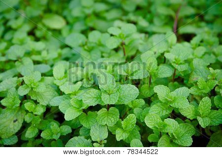 Kitchen Mint, Marsh Mint In Vegetable Garden