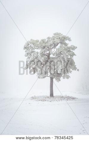 Pine tree, winter