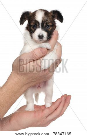 Continental Toy Spaniel Puppy In Hand