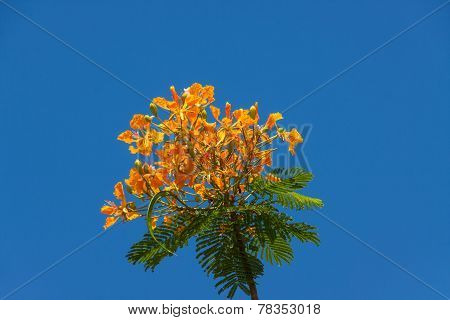 Orange Peacock Flowers