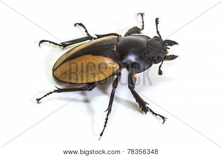 insect, beetle, bug, in genus Odontolabis