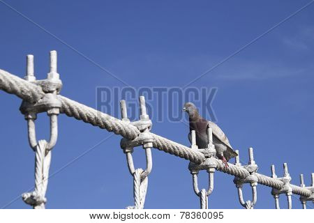 The Pigeon Alighted On Wire Rope Bridge