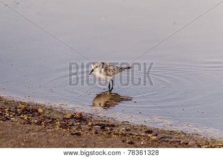 Adult Kentish Plover Water Bird