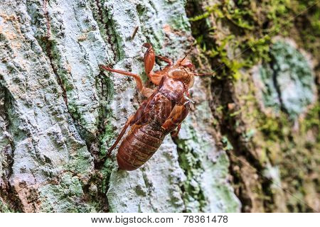 Cicada Shell Which Leave On The Tree