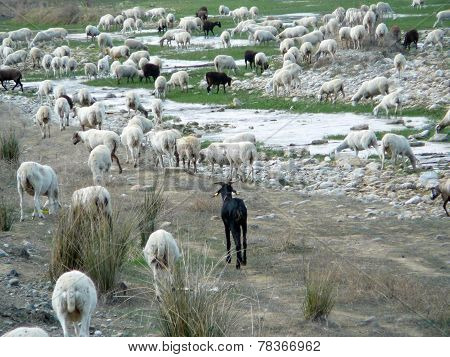 Sheep in riverbed