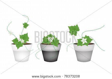 Three Ivy Gourd in Ceramic Flower Pots