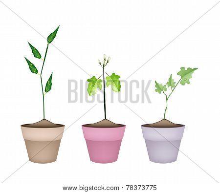 Three Green Eggplant Tree in Ceramic Pots