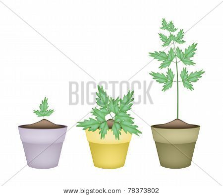 Three Water Dropwort in Ceramic Flower Pots