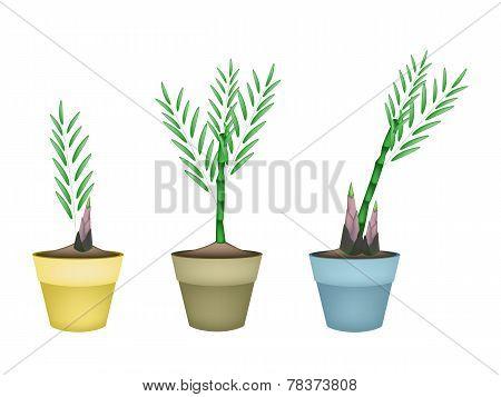 Fresh Bamboo Plants in Ceramic Flower Pots