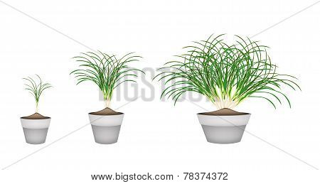 Lemon Grass Plants in Ceramic Flower Pots