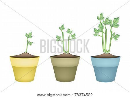 Fresh Celery Root in Ceramic Flower Pots