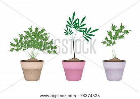 Green Parsley Plant in Ceramic Flower Pots